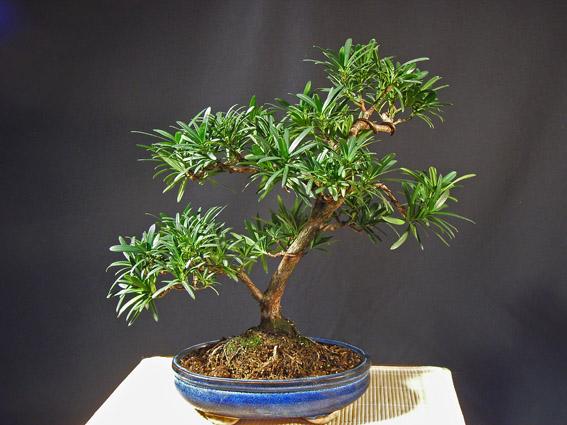 Steineibe, Podocarpus macrophylla