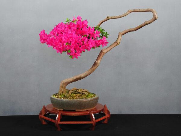 Rhododendron indicum, Azalee, von Jürgen Meyer, Oldenburg